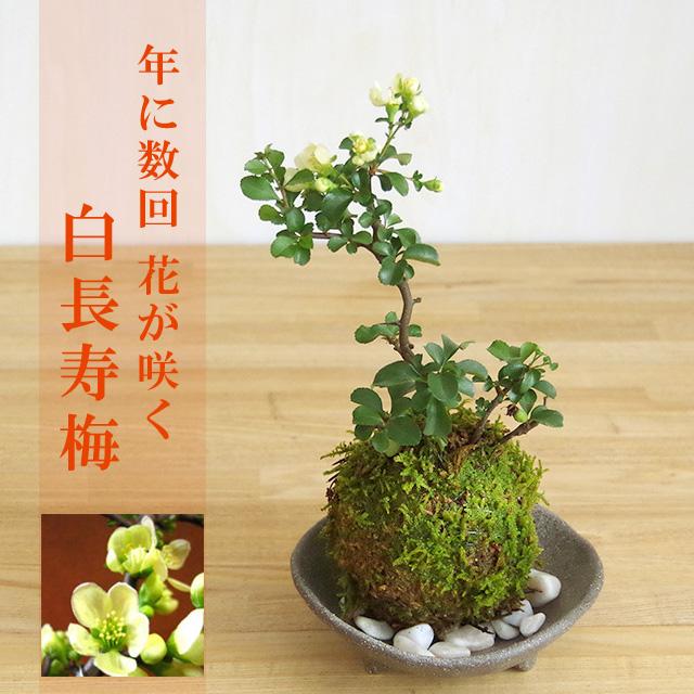 年に数回可憐な花が楽しめます。名前も縁起がいいでしょ?【白長寿梅(しろちょうじゅばい)の苔玉・三つ足灰器セット】