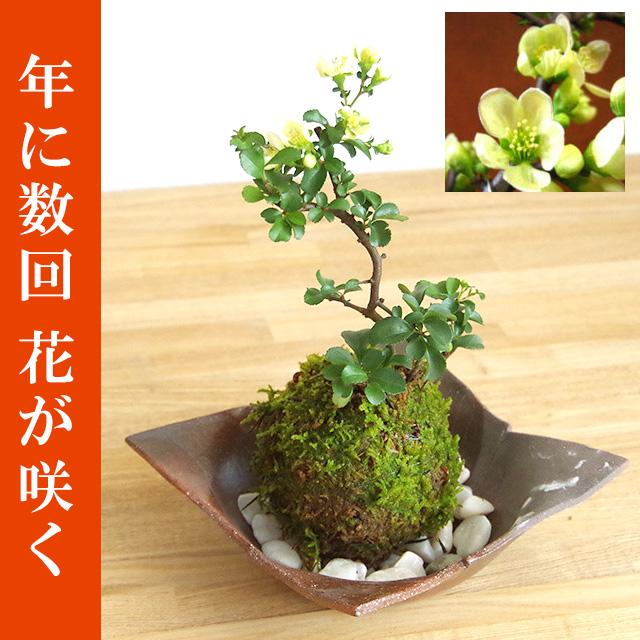 年に数回可憐な花が楽しめます。名前も縁起がいいでしょ?【白長寿梅(しろちょうじゅばい)の苔玉・焼締茶器セット】