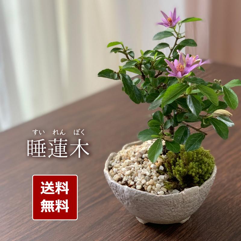 【2020年開花終了】毎年5月から夏ごろに美しい花が楽しめる【睡蓮木(スイレンボク)の盆栽(万古白鉢)】