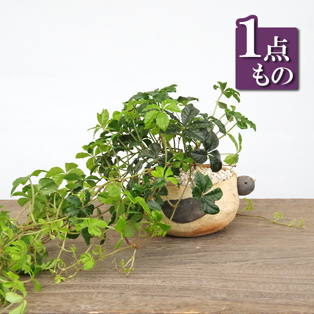シュガーバイン鉢植え