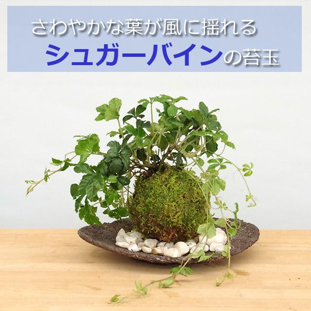 シュガーバイン苔玉