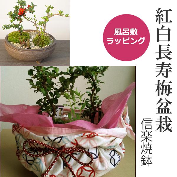 お父さん・お母さんありがとう・・・感謝を込めて贈ります【紅白長寿梅(コウハクチョウジュバイ)の盆栽】小粋な風呂敷ラッピング(姫七宝