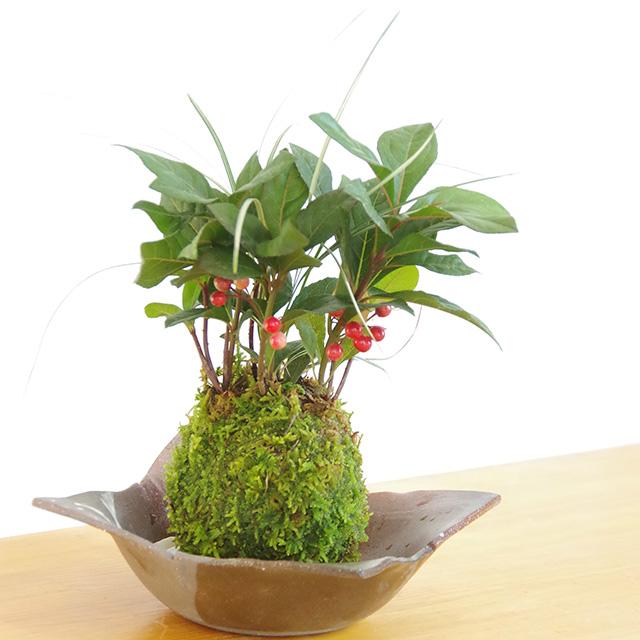 ヤブコウジ苔玉焼締茶器2016