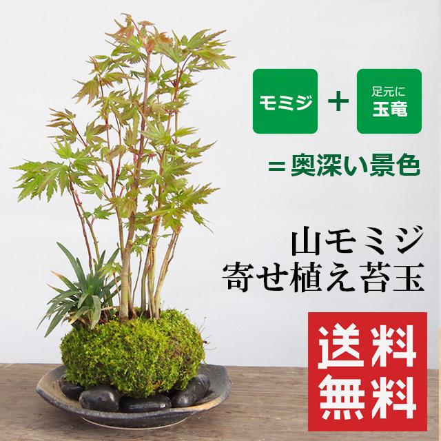 送料無料でお届け!春から秋まで葉を楽しむ【山紅葉(ヤマモミジ)の寄せ植え苔玉・黒備前器小セット】