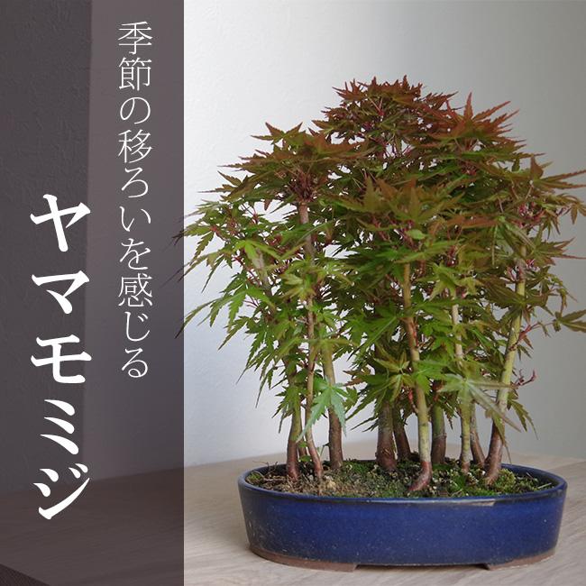 【落葉中】盆栽さやさやとそよぐモミジの林道を歩く ヤマモミジの雑木林風寄せ植え盆栽(楕円陶器鉢)