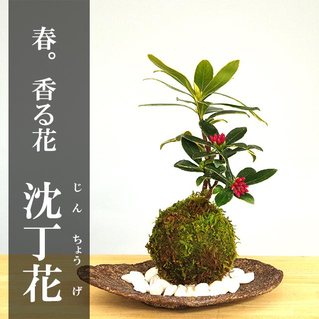沈丁花苔玉