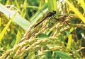 福島の大地が育んだ「会津産無農薬栽培コシヒカリ」(精米5kg)