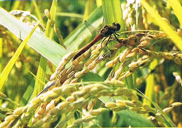 福島の大地が育んだ「会津産無農薬栽培コシヒカリ」(玄米5kg)