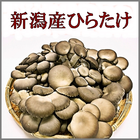 きのこ王国新潟のひらたけ(1kg)