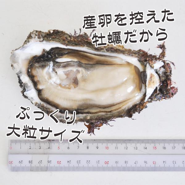 海女採れ天然岩牡蠣「珠姫」・大粒サイズ