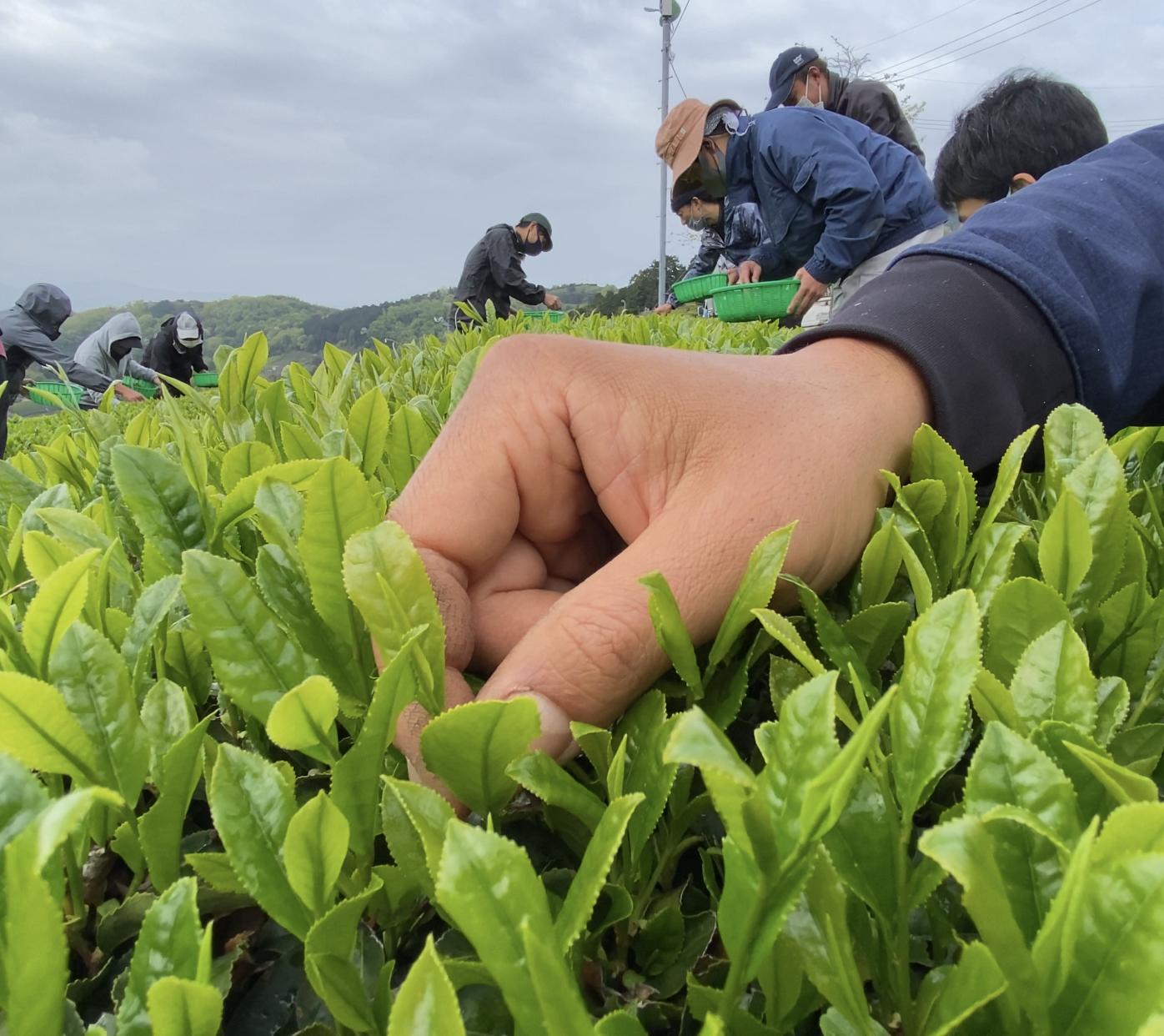 【限定10袋】初市で最高値!貴重な手摘み・手もみ新茶