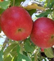 【送料込】りんご 紅玉(ご家庭用 小玉) 5kg箱入り