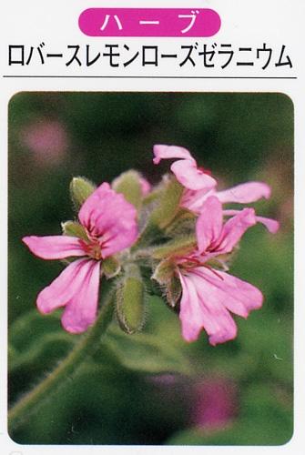 ロバースレモンローズゼラニウム(3寸ポット) ハーブ苗