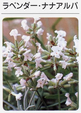 ラベンダー ナナアルバ(白花) (3寸ポット)ハーブ苗