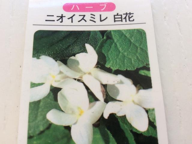 ハーブ苗 ニオイスミレ/白花(3寸ポット)