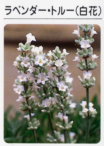 ラベンダー トルー(白花) (3寸ポット)ハーブ苗
