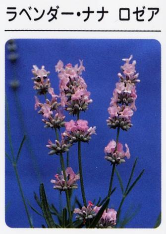 ラベンダー ナナロゼア(ピンク) (3寸ポット)ハーブ苗
