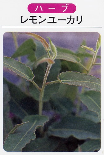 レモンユーカリ(3寸ポット)ハーブ苗