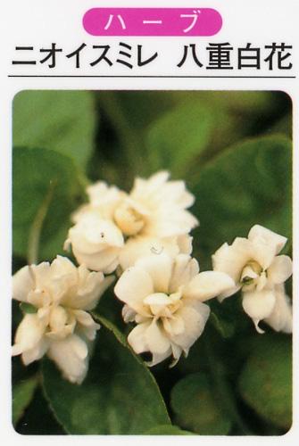 ハーブ苗 ニオイスミレ八重咲/白花(3寸ポット)