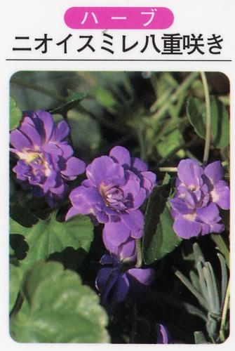 ハーブ苗 ニオイスミレ八重咲/紫花(3寸ポット)