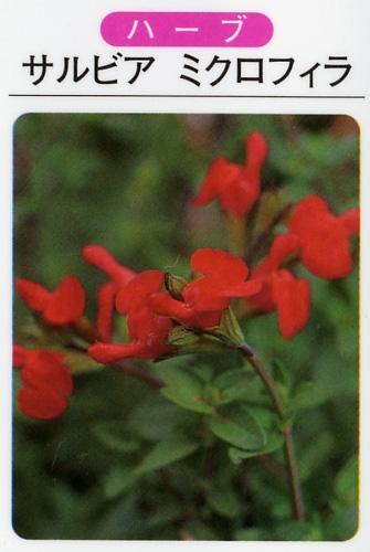 サルビア ミクロフィラ(3寸ポット)ハーブ苗
