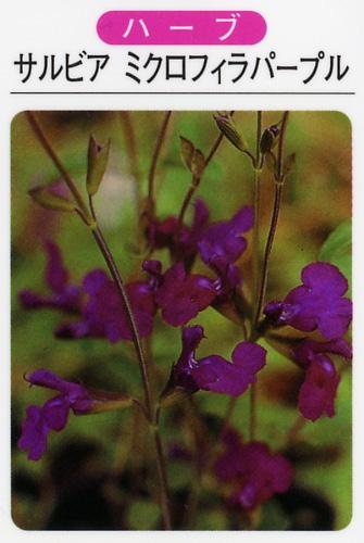 サルビア ミクロフィラ パープル(3寸ポット)ハーブ苗