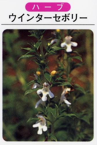ウインターセボリー(3寸ポット)ハーブ苗