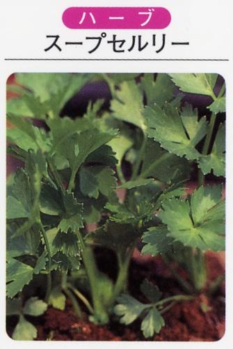 ハーブ苗 スープセルリー(3寸ポット)