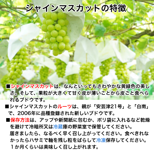 お試し【送料無料】鈴木ぶどう園の朝採り訳ありシャインマスカット