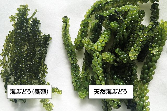 海ぶどうの天然と養殖の比較