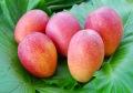 おもと果樹庵の完熟マンゴー