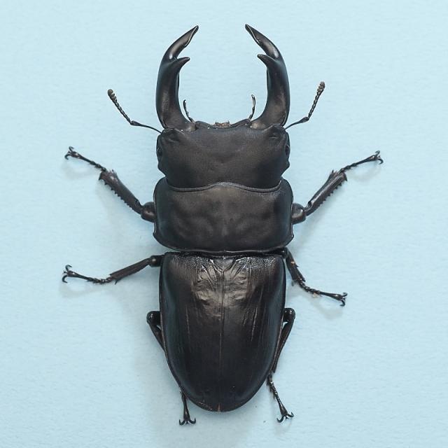 20年羽化 77mm ♂1頭♀2頭 久留米血統 虫楽氏ブリード個体 mus2010141802