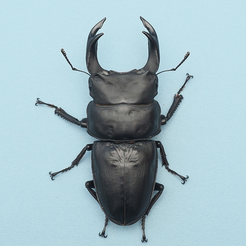 20年羽化 82mm ♂1頭♀2頭 久留米血統 虫楽氏ブリード個体 mus2010152119