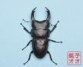 オオクワガタ成虫 83.5mm ♂単品 18年羽化新成虫能勢YG血統 ワイドカウ氏ブリード個体wk1809191358 A1144