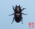 オオクワガタ成虫 52.5mm ♀単品 18年羽化新成虫能勢YG血統 ワイドカウ氏ブリード個体 wk1812121501 A735