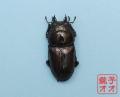 オオクワガタ成虫 54.5mm ♀単品 18年羽化新成虫能勢YG血統 ヤチクワ氏ブリード個体 yck1810151541