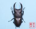 オオクワガタ成虫 85mm ♂単品 18年羽化新成虫能勢YG血統 ヤチクワ氏ブリード個体 yck1812081947
