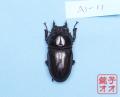 オオクワガタ成虫 53.5mm ♀単品 18年羽化能勢YG血統 ヤチクワ氏ブリード個体 yck1901291315