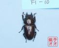 オオクワガタ成虫 52.5ミリ ♀単品 18年羽化能勢YG血統 ヤチクワ氏ブリード個体 yck1903031002