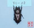 オオクワガタ成虫 53ミリ ♀単品 18年羽化能勢YG血統 ヤチクワ氏ブリード個体 yck1903031126