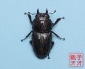 オオクワガタ成虫 51.5mm ♀単品 18年羽化新成虫能勢YG血統 銚子オオブリード個体 yg1811150834