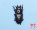 オオクワガタ成虫 53ミリ ♀単品 18年羽化能勢YG血統 銚子オオブリード個体 yg1902141133