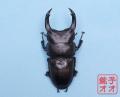 オオクワガタ成虫 80.5ミリペア 18年羽化能勢YG血統 銚子オオブリード個体 yg1902142208