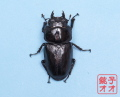 オオクワガタ成虫 55.5ミリ ♀単品 18年羽化能勢YG血統 銚子オオブリード個体 yg1902152043