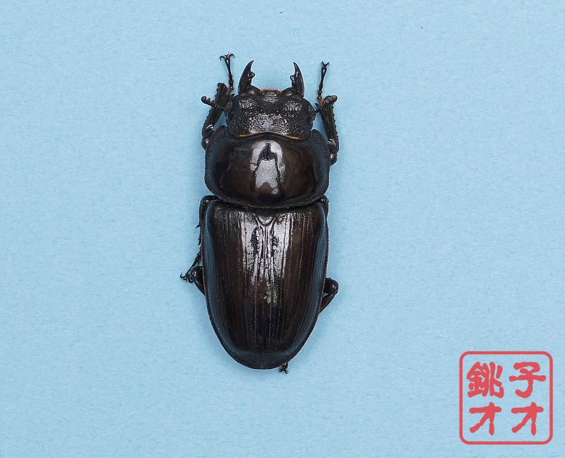 オオクワガタ成虫 50.5mm ♀単品 18年羽化新成虫能勢YG血統 ワイドカウ氏ブリード個体 wk1810301453  A1331