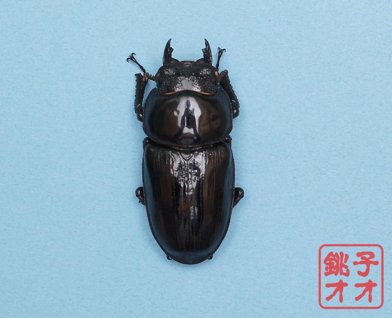 オオクワガタ成虫 52.5mm ♀単品 18年羽化新成虫能勢YG血統 ワイドカウ氏ブリード個体 wk1811191503 AA327