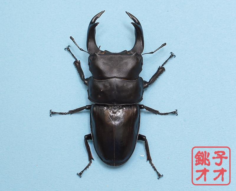 オオクワガタ成虫 85.5mm ♂単品 18年羽化新成虫能勢YG血統 ヤチクワ氏ブリード個体 yck1810151510