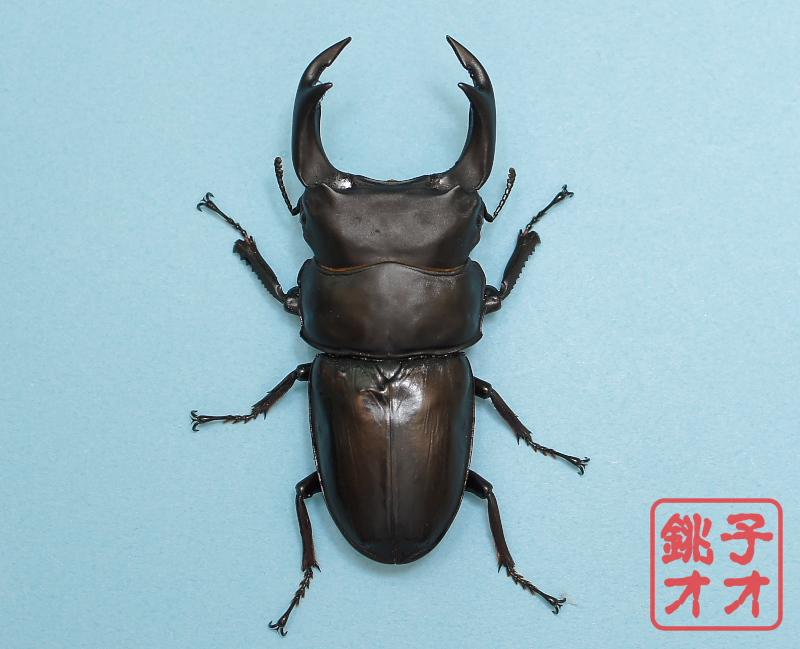 オオクワガタ成虫 85.5mm ♂単品 18年羽化新成虫能勢YG血統 ヤチクワ氏ブリード個体 yck1811201556 D2-02