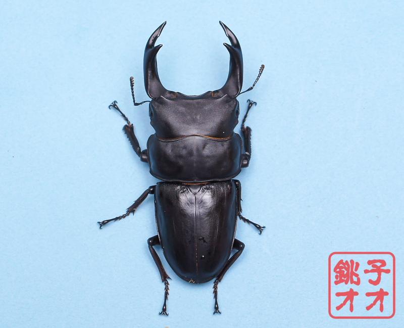 オオクワガタ成虫 84.5mm ♂単品 18年羽化能勢YG血統 ヤチクワ氏ブリード個体 yck1902041504