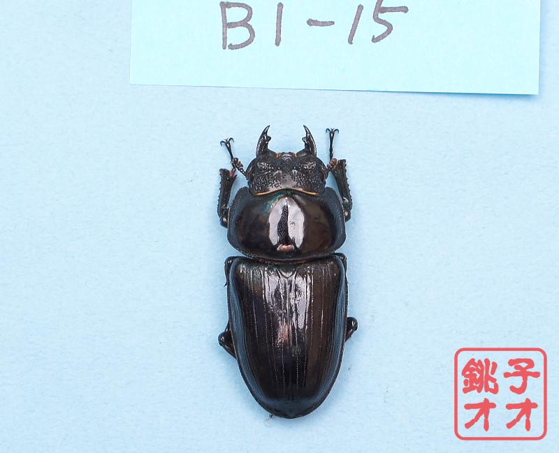 オオクワガタ成虫 52.5ミリ ♀単品 18年羽化能勢YG血統 ヤチクワ氏ブリード個体 yck1903031005